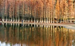 水杉湖面相映成趣美如画
