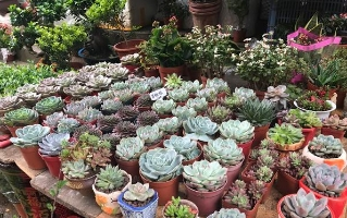 邵阳多肉植物成花卉市场新宠 深受年轻人喜爱