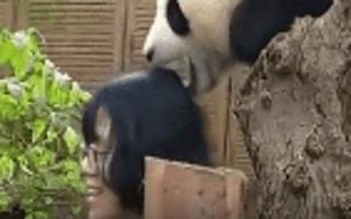 女生和熊猫合影突然被咬住头发