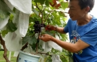 苗家汉子守着16亩成熟的原生态葡萄 他居然痛哭失声