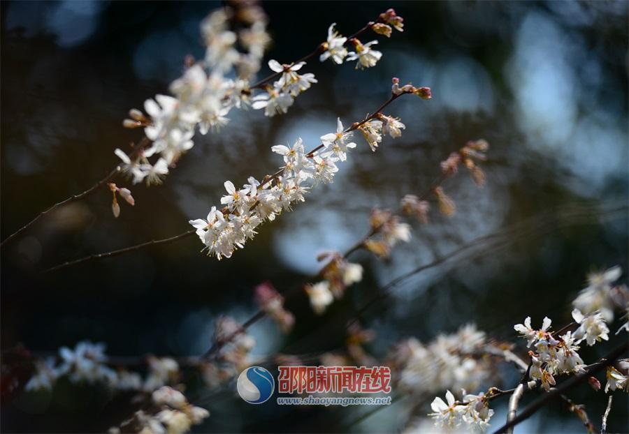 春暖花开的季节 来邵阳城里看美景