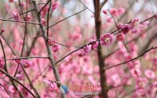 家门口的梅花开的正艳