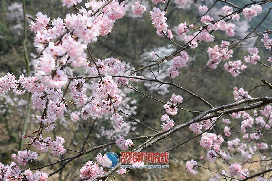 野樱桃花又开了