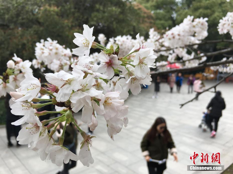 武大赏樱预约限流首日:游客