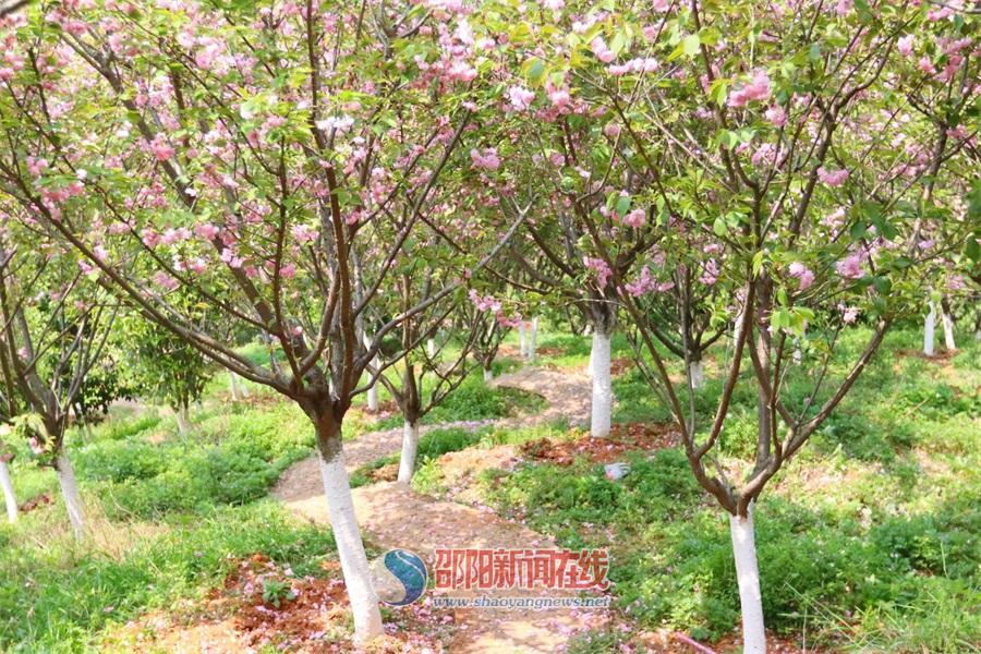 北塔生态园的樱花 惊艳了这个春天