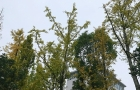 邵阳这些银杏树叶开始泛黄,市民将感受金色浪漫风景