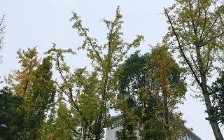 betway官网这些银杏树叶开始泛黄,市民将感受金色浪漫风景