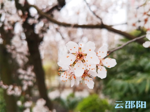 邵阳拍客 | 紫叶李娇艳盛开,彷若吹雪