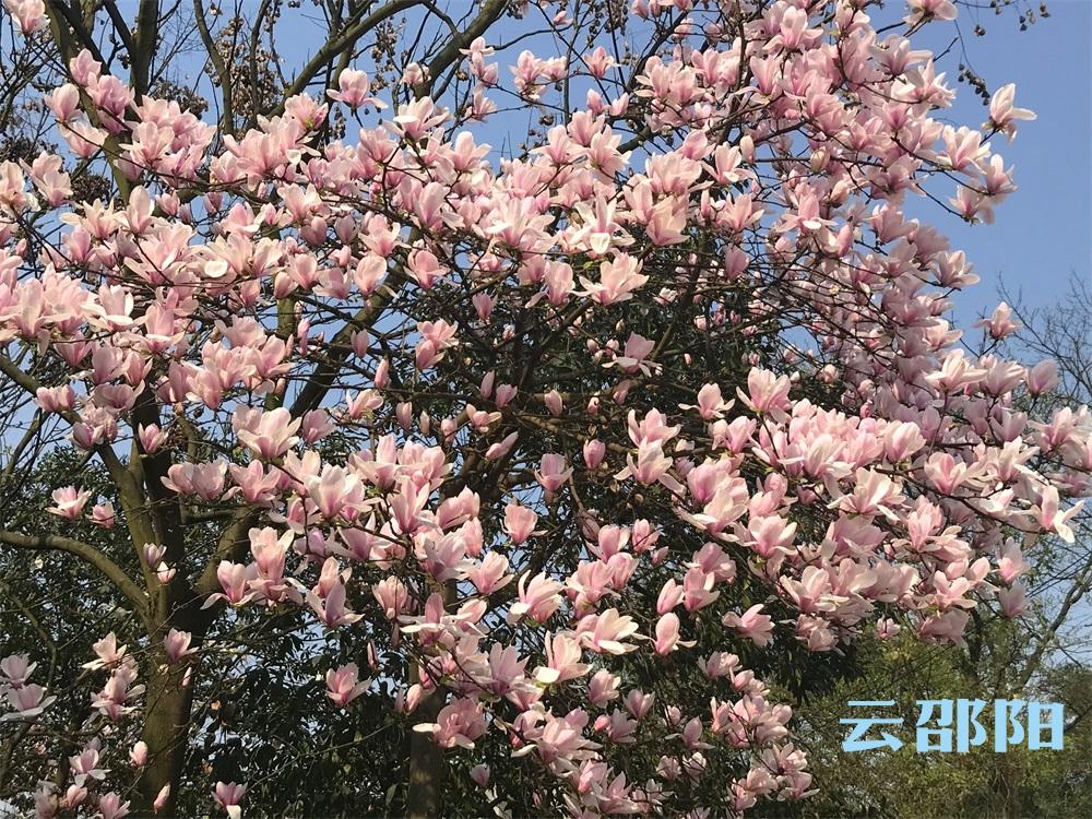 邵阳拍客丨市区玉兰花惊艳绽放